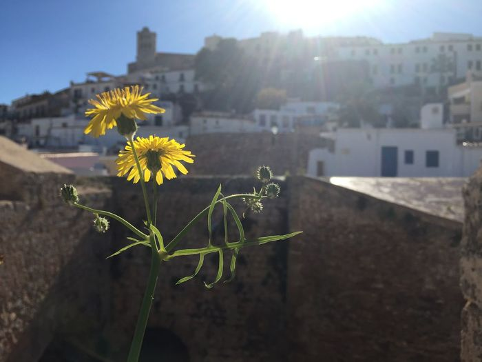 Urban flower Flower Urban Yellow City Town Old Town Sunshine D'alt Vila Ibiza Town Ibiza