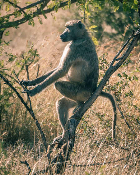 One of my favorite shots of this past one of, I love them all :) A New Beginning #LumixS LumixG80 #panasonic #LugaresConEncanto #kruger Animal Wildlife Baboon EyeEmNewHere
