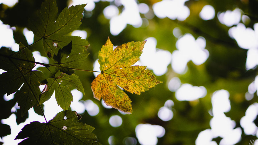 Leaf Plant Part Autumn Plant Close-up Change Nature No People Day Tree Focus On Foreground Beauty In Nature Maple Leaf Green Color Outdoors Vulnerability  Growth Leaf Vein Dry Yellow Leaves Natural Condition