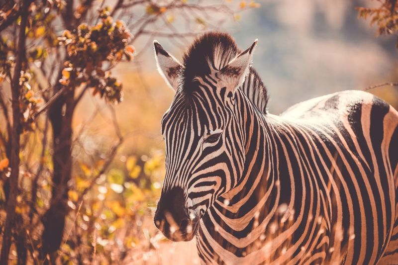Close-up of zebra standing in forest