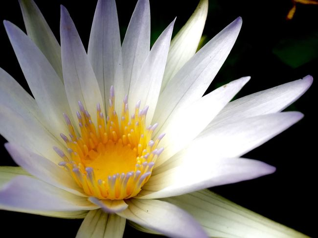 White lotus in the garden Garden Photography White Lotus Flower Full Frame Copy Space Nature Photography Flower Flowering Plant Fragility Vulnerability  Inflorescence Freshness Flower Head Petal Beauty In Nature Plant Growth Close-up Pollen Nature No People White Color Yellow Day Stamen Gazania