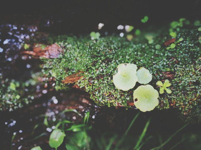 Ombligo de Venus Green Tesis99 Verde Lightday Light Leaf Close-up Plant Water Plant