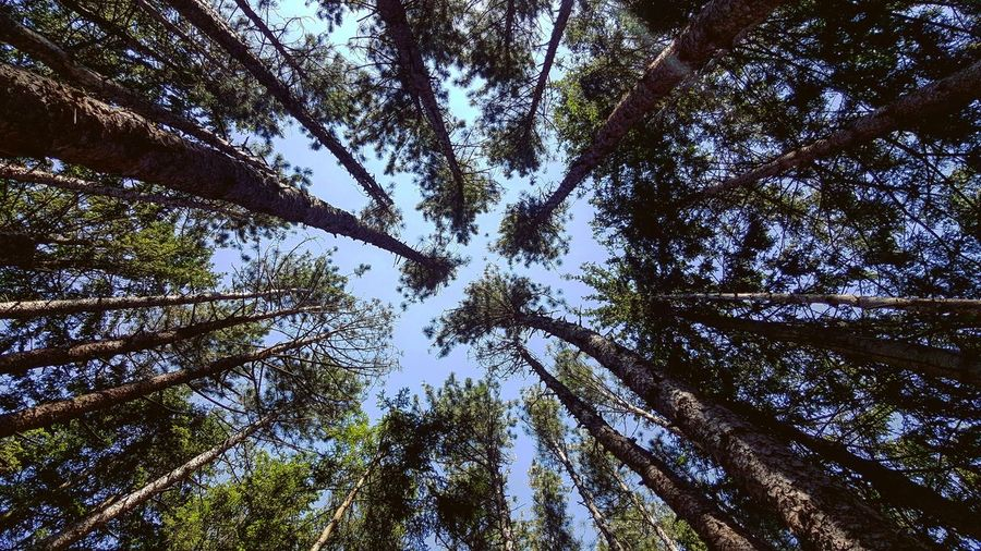 Be one with wilderness! Tall Trees Converging Nature Tree Forest Branch Backgrounds Tree Area Full Frame Clear Sky Sky Pine Woodland Leaves Tree Trunk Upward View Woods Sunrays