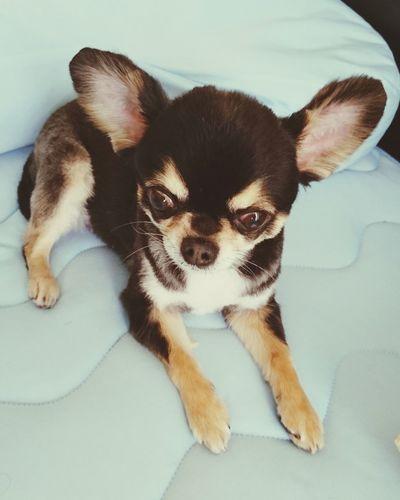 カット後 Chihuahua チワワ Dog Dog Love Relaxing