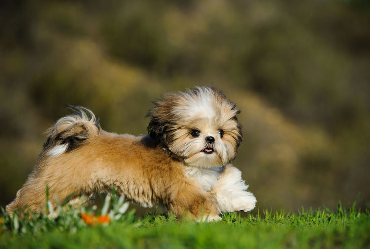 Shih Tzu Running On Grass