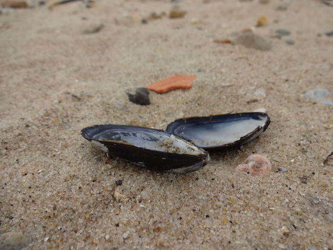 Sand Beach No People Day Nature Outdoors Close-up Animal Themes Sea Shell Muschel Nordsee North Sea Strand Miesmuschel Muschelschalen Blue Mussel Oval Two Objects