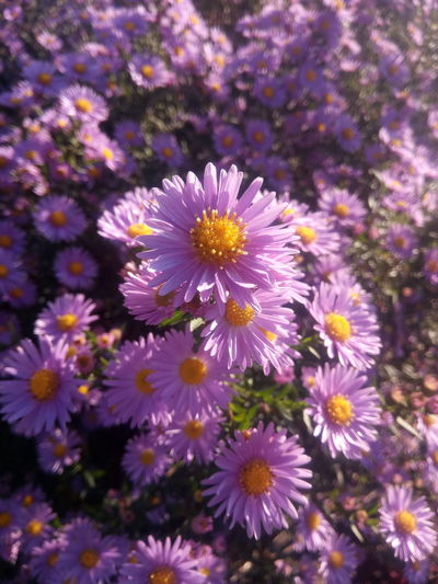 Autumn flowers Autumn Beauty In Nature Flower Head Flower Petal Purple Close-up Plant Blooming
