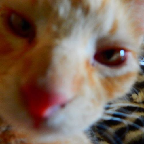 Mrlito MySweetBoy Pinknose Gingercat Closeup