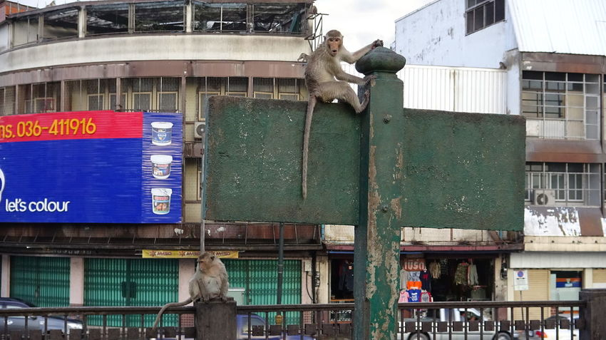 Monkeys in Lop Buri Javaneraffen Monkeys Animal Themes Architecture Building Exterior Built Structure City Communication Crab-eating Macaques Day Domestic Animals Lopburi Thailand Low Angle View Mammal No People Outdoors Perching Sculpture Statue Text Transportation
