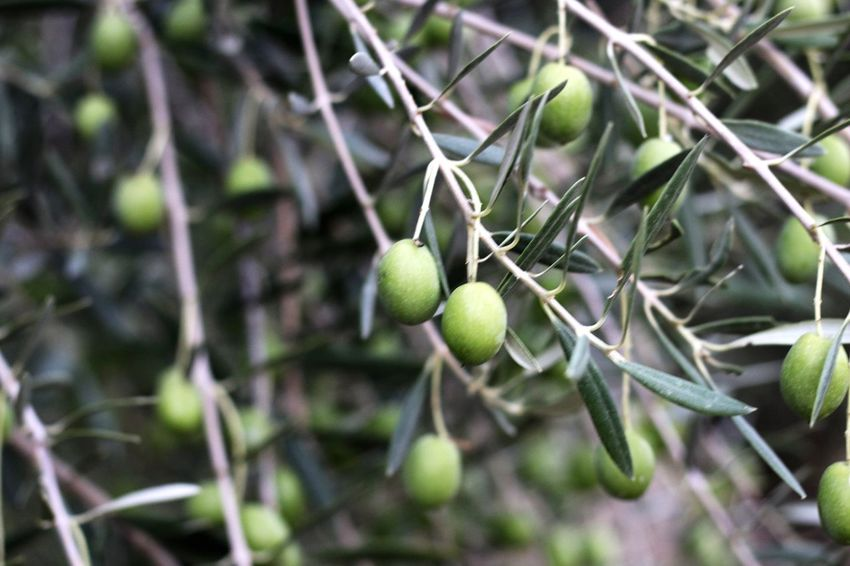 Olive Tree Olives Tree Green Color Growth Freshness No People Olive Oil Cyprus Olive Olive Trees Olive Garden Olive Grove Olives & Olives Olives Trees Olive Green Olives On Branch Olives Leafs Olivetree Olive Branch Olive Leaves Olive Oil Tree Limassol Cyprus Limassol, Cyprus Limassol