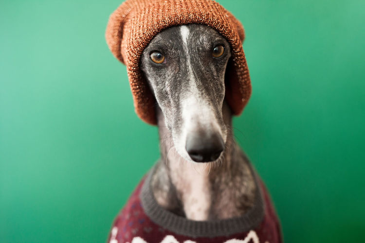 Acting Autumn Christmas Funny Galgo Hat Winter Animal Animal Body Part Animal Head  Animal Themes Canine Close-up Clothes Colored Background Cozy Dog Domestic Domestic Animals Galgoespañol Green Background Greyhound Heart Indoors  Looking At Camera Mammal No People One Animal Pets Portrait Portraiture Studio Shot Sweater Vertebrate Warm Whool
