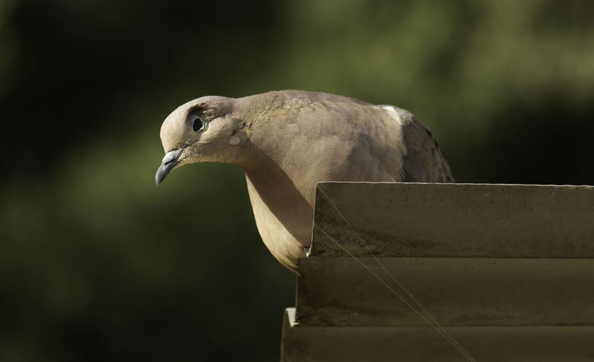 Close-up of mourning dove perching on roof