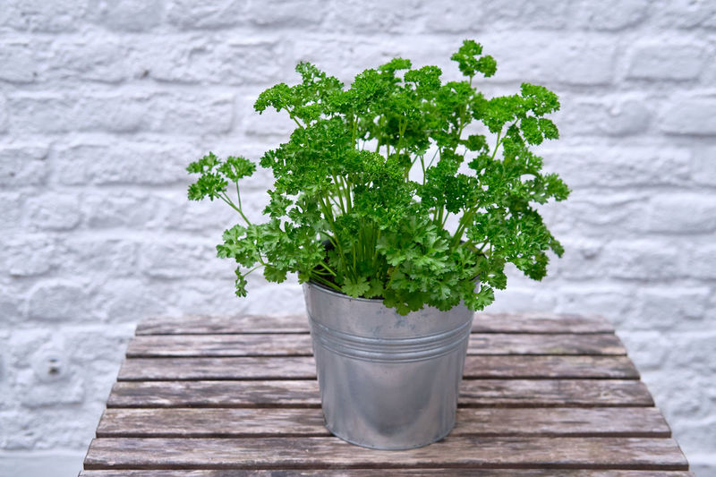 Parsley in a