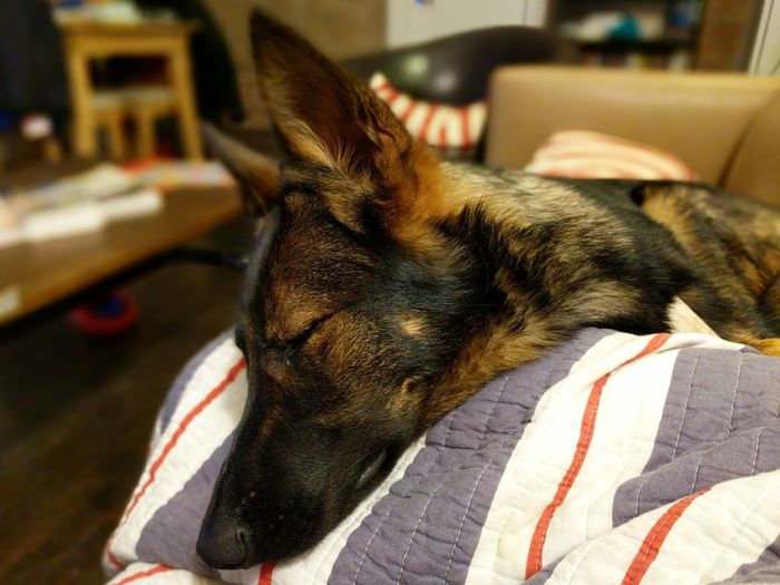 sleepy pup Puppy My Pet Nap No People Canine German Shepherd Pets Dog Sleeping Relaxation Lying Down Close-up Purebred Dog