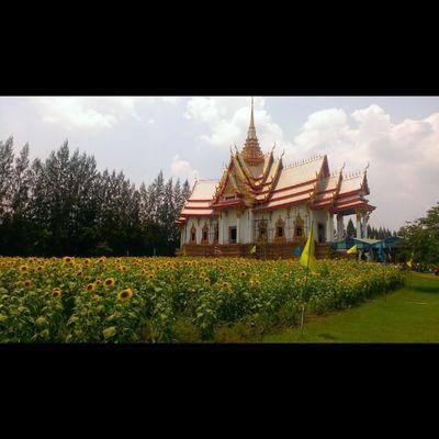 วัดสรพงษ์ Korat Temple Igoftheday Igers Thailand Sunflower