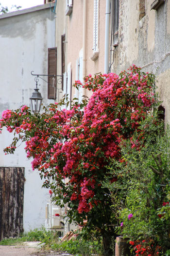 Close-up of bougainvillea blooming outside house