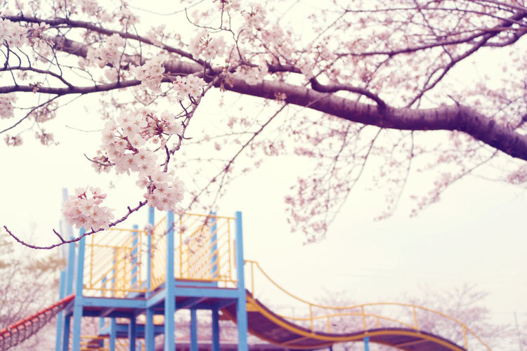 Cherry Blossoms Cherryblossom Cherryblossoms Japaneseflowers   japan サクラ 日本 桜 spりn
