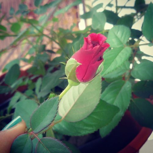 Mekar lah dan buat dunia berwarna Mawar Redroses BeautifulRedRoses