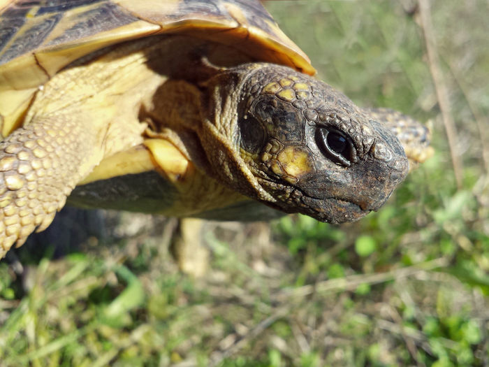 Testudo Hermanni - Serchio River Animal Body Part Animal Eye Animal Head  Animalia Animals In The Wild Close-up Nature Outdoors Reptile Reptile Collection Reptile Photography Reptilia Testudines Testudinidae Testudo Turtle Turtle Collection Wildlife Zoology Pet Portraits