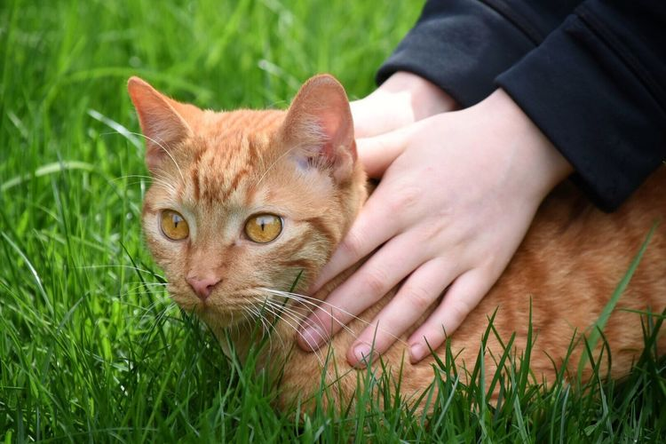 Close-Up Portrait Of Ginger Cat On Field