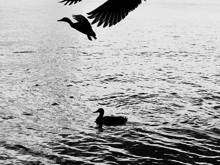 Animal Themes Bird Animals In The Wild Animal Wildlife One Animal Wildlife Nature Spread Wings Flying Water Day No People Lake Water Bird Raven - Bird Outdoors Swimming Beauty In Nature Live For The Story