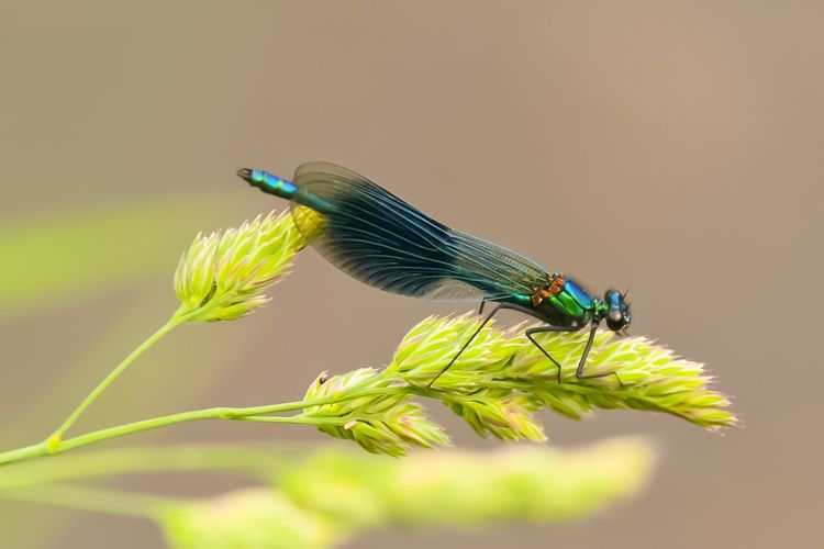 EyeEm Selects Perching Damselfly Insect Colored Background Close-up Animal Themes Green Color Plant