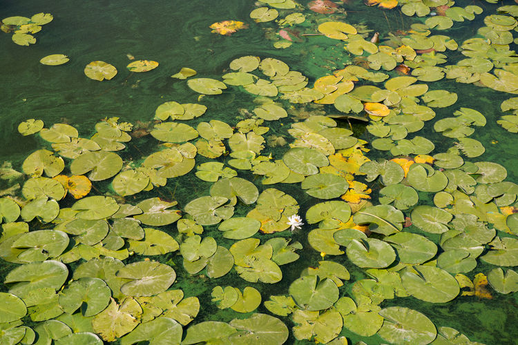 green lotus leaves on the surface of the water Water Green Color Lake Floating Floating On Water Leaf Plant Part Beauty In Nature Water Lily Plant Growth Flower Nature Leaves High Angle View No People Day Tranquility Outdoors Lotus Water Lily Swamp Background