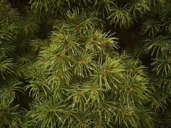 Animal Themes Animal Wildlife Backgrounds Beauty In Nature Close-up Coniferous Tree Day Full Frame Green Color Growth High Angle View Land Leaf Nature No People Outdoors Pine Tree Plant Plant Part Tranquility Tree