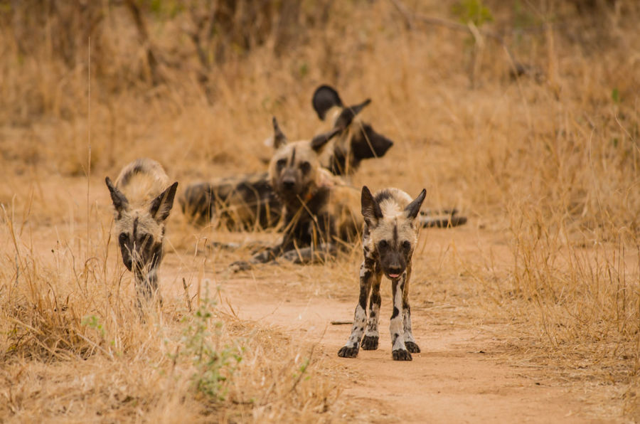 African wild dogs in the Savannah off in Zimbabwe, South Africa Charara Safari Area Colorful Wolf Hyena Lake Kariba Lycaon Pictus National Park Nature Savannah South Africa Wild Dog Herds Wildlife Refuge Zimbabwe African Wild Dog Animal Themes Dog Herd Animal Hyena Dog Kariba Predator Safari Social Animal Strongly Threatened Wildlife
