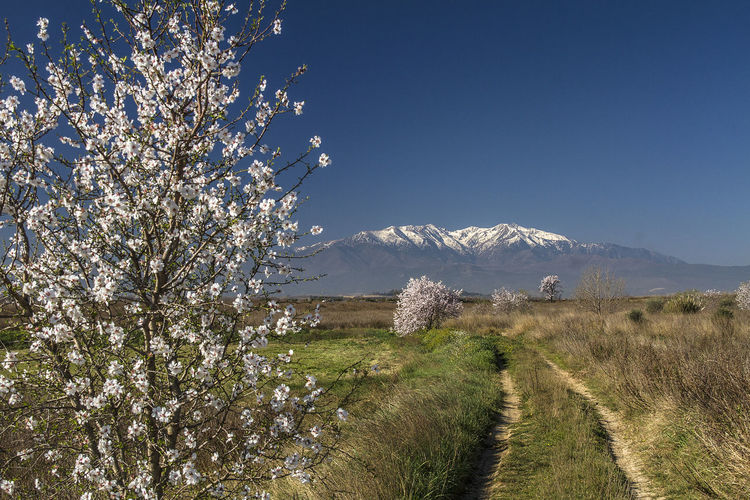 Canigou Mountain Catalan Plant Beauty In Nature Mountain Nature Growth Sky Tree Flower Scenics - Nature Tranquility No People Tranquil Scene Landscape Flowering Plant Springtime Blossom Day Snow Clear Sky Land Outdoors Cherry Blossom Snowcapped Mountain Cherry Tree