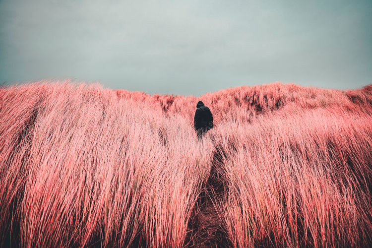 Hooded man lost in the sea of pink grass