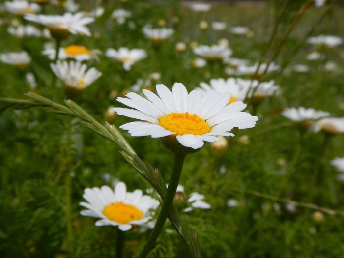 Beauty In Nature Day Flower Flower Head Freshness Outdoors Petal Plant Pollen White Color