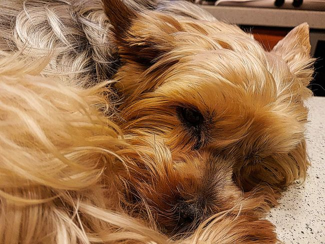 Close-up Animal Themes Domestic Animals Pets Indoors  No People Samsung Galaxy S7 Edge Samsungphotography Feel The Journey, Capture The Moment Looking At Camera EyeEm Best Shots Semplicemente Il Mio Amore My Dog Io Sono ;) Il Mio Cane Zaccaria Dog Dog Dog 💕 Io Sono Leggenda People Vita Da Cani... Animal Themes. Animal Theme