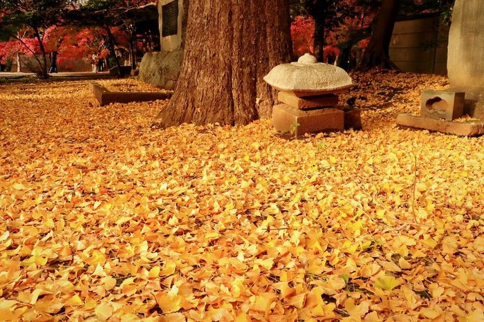 Temple Japan Landscape Autumn Leaves Nature Beauty In Nature Autumn Japanese Temple Low Angle View Yellow Colour Leaves And Colors
