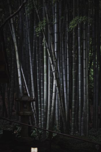 VSCO Nature Japan Snap Vscocam Light And Shadow Streetphotography Forest Tree Plant Land Bamboo Growth Bamboo - Plant