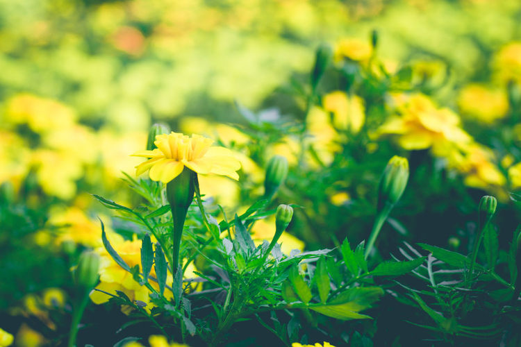 Marigold🌻🌻 Marigold Flowers Marigold In Full Bloom Vivid Yellow Bright Close-up Meadow Green Color Spring Wallpaper EyeEmNewHere FreshnessDay Aroma Flower Head Freshness Outdoors Leaf Growth Plant Flower Nature No People Flora Yellow