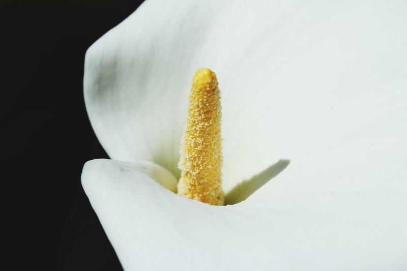 Flower Head Flowering Plant Flower White Skygarden Cala Lily White Lily Lily Stamen Close-up Still Life White Color Plant Nature Pollen