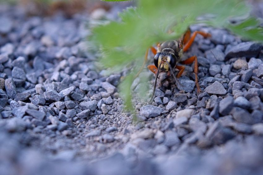 Great golden digger Wasp Insect Wings Nature Wildlife Wildlife & Nature Wildlife Photography Bee Wasp At Work Little Guy Nikon D3300