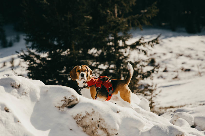 Beagle dog in the snow Beagle Beaglelovers Beagle Channel Beagles  Beagleoftheday Dog Dogs Dogs Of EyeEm Winter Wintertime Winter Wonderland Winter Sport Snow Snowing Animal Canine Cold Temperature Domestic Pets Land Nature Pets Of Eyeem Tree
