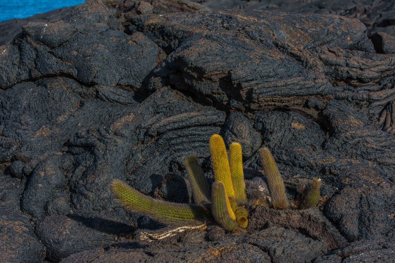 no people, nature, yellow, land, plant, rock, rock - object, solid, cactus, day, succulent plant, desert, outdoors, close-up, landscape, non-urban scene, environment, mountain, history, extreme terrain, arid climate