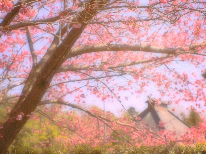 Japanese Temple Cherry Blossoms Sakura 桜 Pink Blossom Airy Japan Bokeheffect Spring 春 Spring Colours EyeEm Nature Lover Fleshyplants