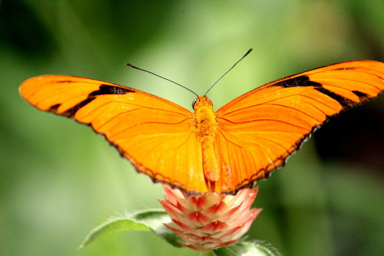 Animal Animal Themes Animal Wildlife Animal Wing Animals In The Wild Beauty In Nature Butterfly Butterfly - Insect Close-up Day Flower Flower Head Focus On Foreground Fragility Growth Insect Invertebrate Nature No People One Animal Outdoors Plant Pollination Vulnerability