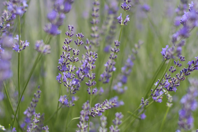 Beauty In Nature Blooming Botany Close-up Day Flower Focus On Foreground Fragility Freshness Growing Growth In Bloom Lavender Lavender Farm Lavender Field Lavenderbythebay Lavenderflower Nature No People Outdoors Plant Purple Selective Focus Stem Tranquility