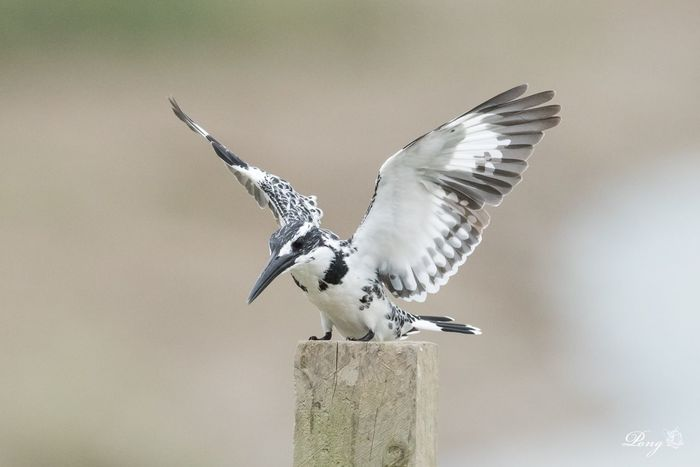 Pied kingfisher NikonD810 Wwfhk Nikon Snapshots Of Life Nature Photography Animals In The Wild 800mm HongKong Kingfisher Maipo Nature Reserve Hkbird Birding Bird Photography Animal Photography Animal_collection