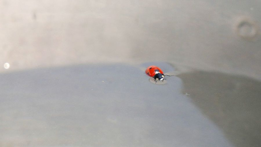 Ladybug🐞 Water Floating On Water Swiming Nature Bug Insects  Insect Photography Animal Eyeemphotography Eye Em Nature Lover Nokia N8-00 Summer Memories 🌄