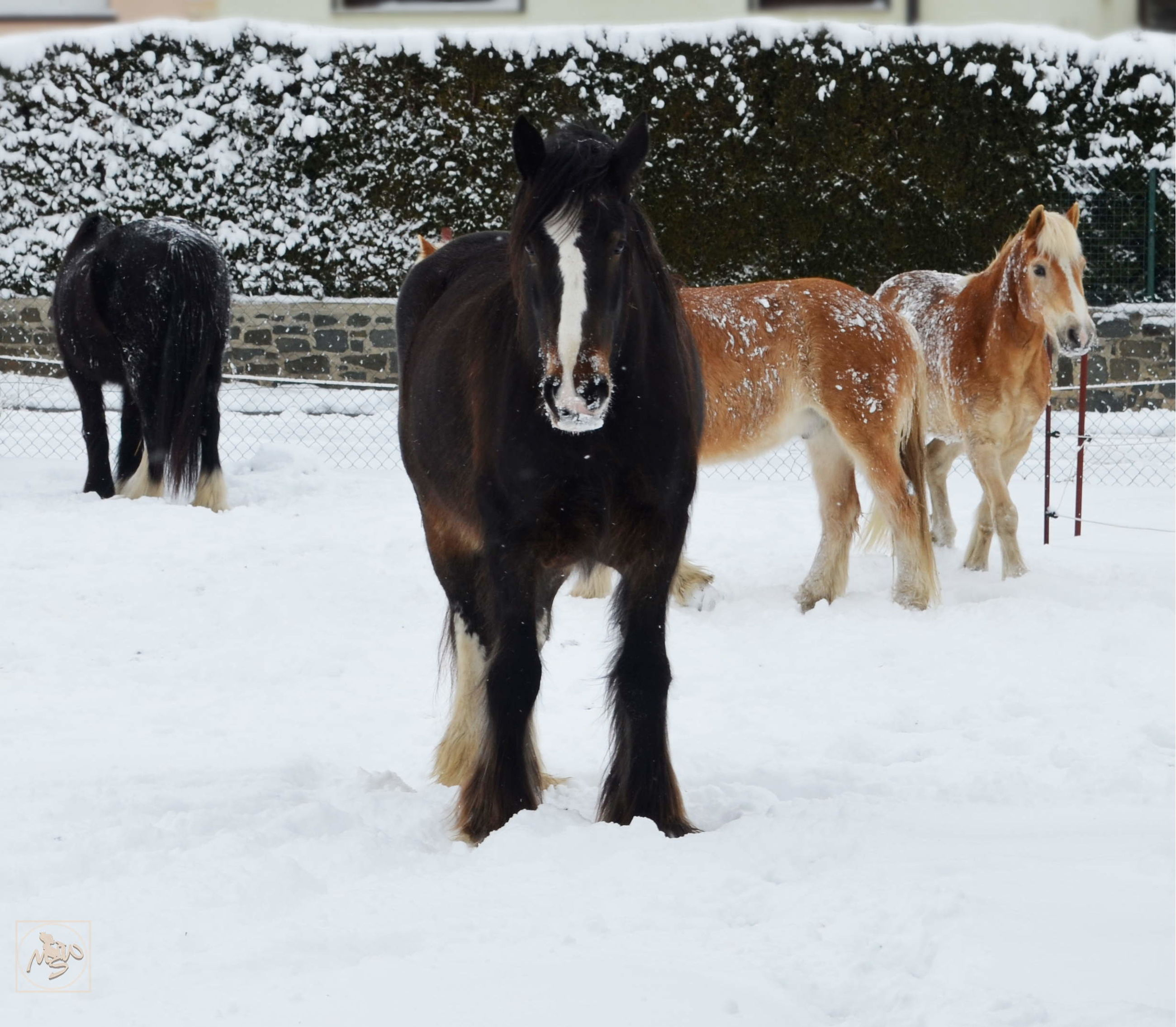 snow, winter, cold temperature, mammal, animal themes, animal, domestic animals, group of animals, domestic, pets, livestock, vertebrate, field, white color, land, covering, horse, nature, animal wildlife, no people, outdoors, herbivorous, snowing, extreme weather, snowcapped mountain