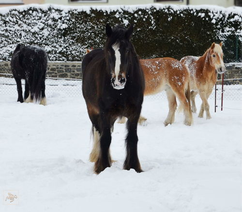 Horses in snow Haflinger Animal Animal Themes Group Of Animals Land Mammal Nature No People Shire Horses Snow Snowing Winter
