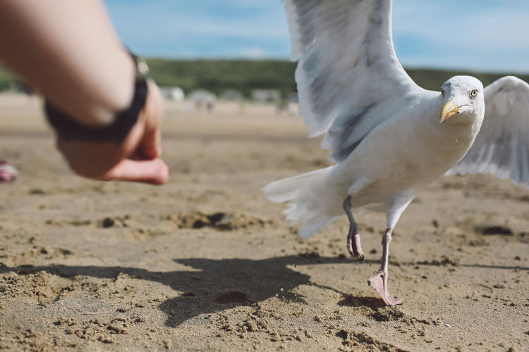Cropped hand of person by seagull at sandy beach