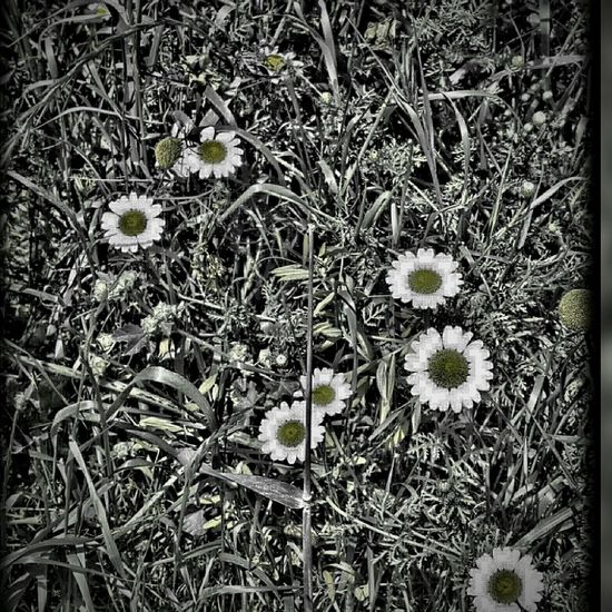EyeEm Flower Camomile Camomiles EyeEm Eyeemphotography Garden Flowers Camomile Flower Gardenflowers Effects & Filters EyeEm Gallery Photographylovers Photo Of The Day Taking Photos Papatya🌻 Papatyalarr♥♡