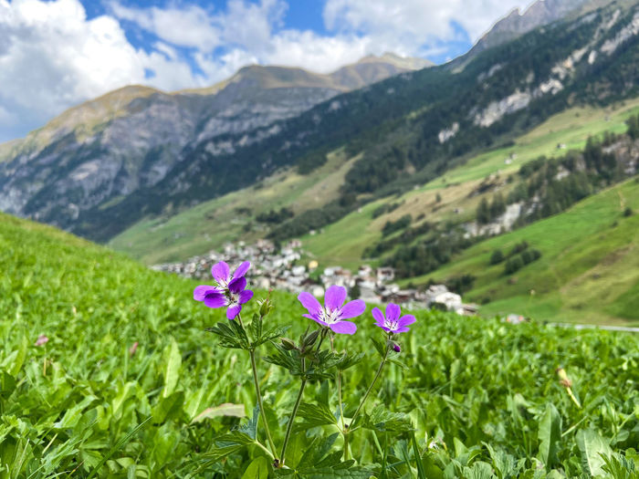 Flowering plants on field against mountains